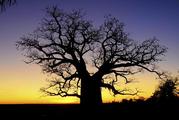 Boab Tree , Derby, WA