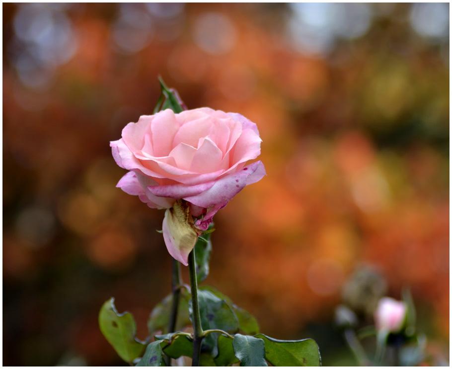 one-pink-rose.jpg