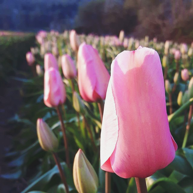 Photo credit: image 3 & 7, @leppfarmmarket instagram and @abbotsfordtulipfestival instagram.