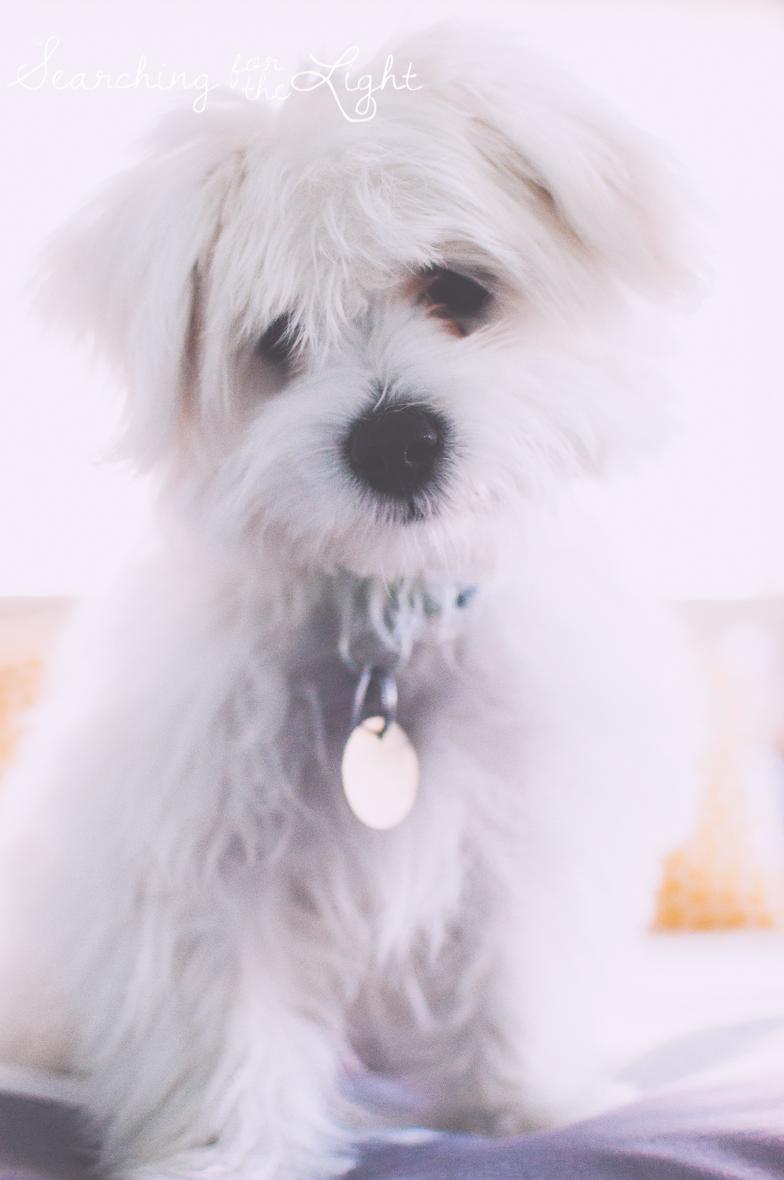 maltesse_puppy_5mo_Toby_21_vintage