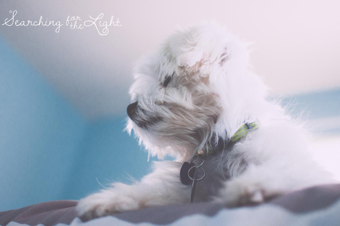 maltesse_puppy_5mo_Toby_23_vintage