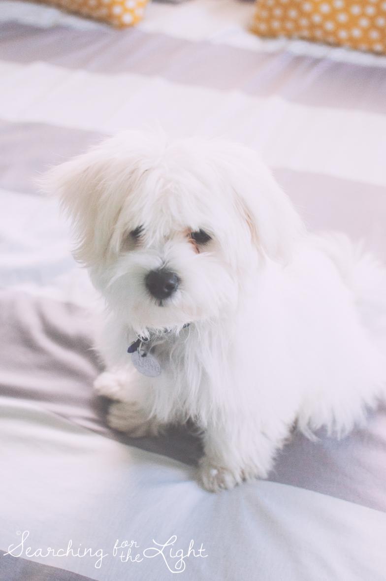 maltesse_puppy_5mo_Toby_25_vintage