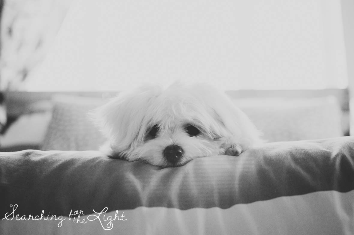 maltesse_puppy_5mo_Toby_19_vintagebw