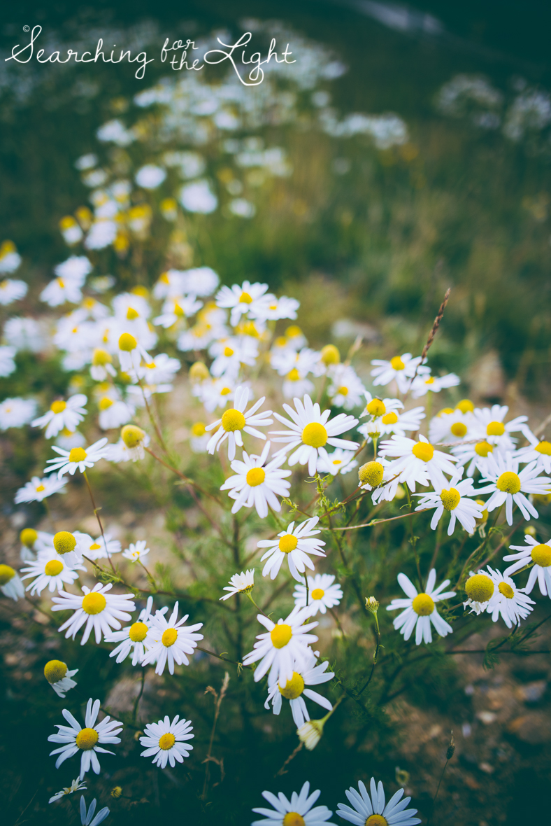 Colorado photographer, breckenridge photos in September, wild daisies