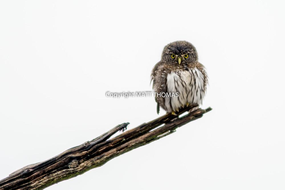 Pygmy Owl -2