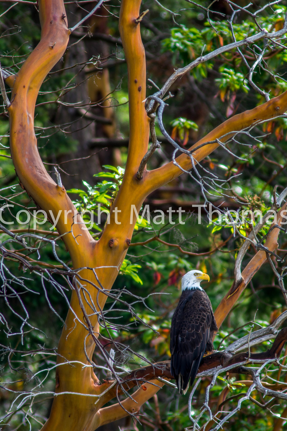 The Eagle And The Madrone