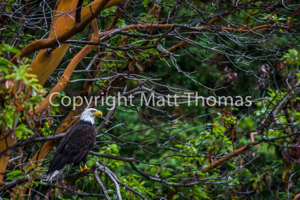 The Eagle And The Madrone-2