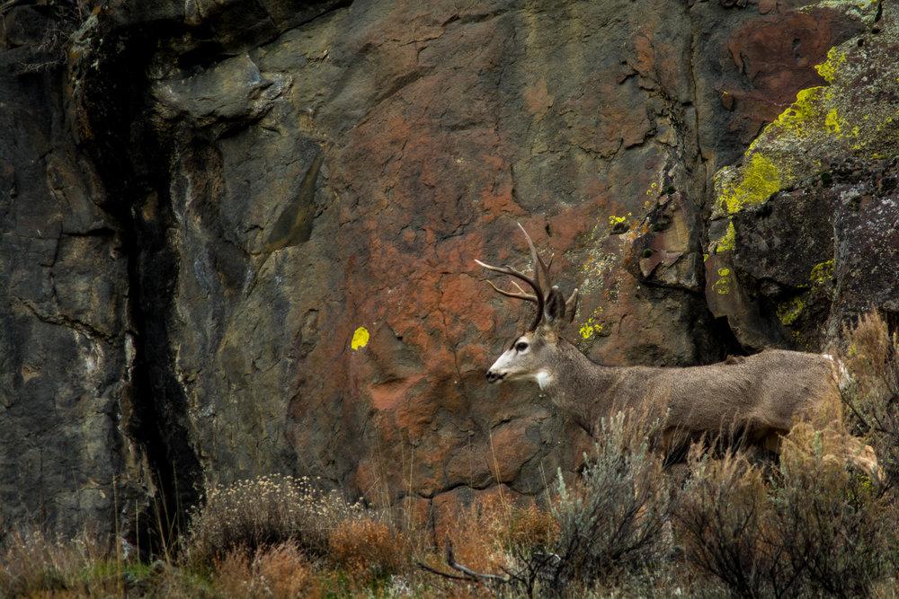 Buck/Stone