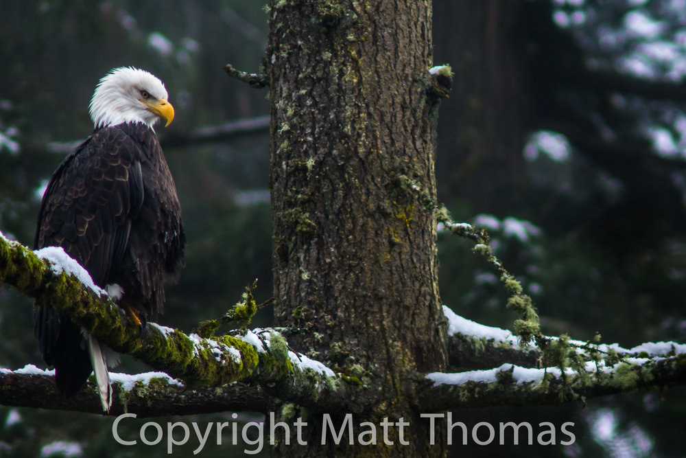 Eagle/Snow