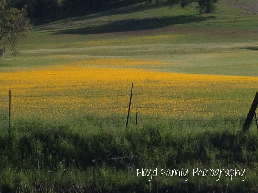 pretty yellow flowers in a field | Placerville-Children-Photographer