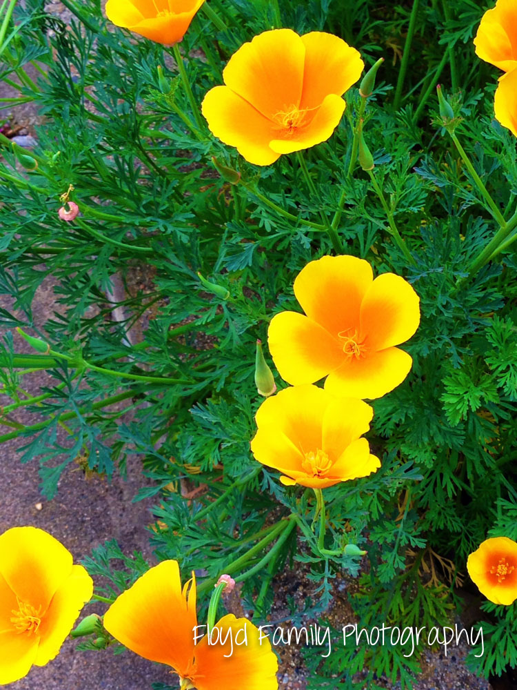 California poppies are the prettiest yellow flowers around | Placerville-Children-Photographer