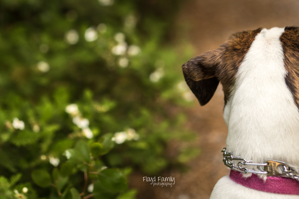 dog looking ahead on hiking trail | Placerville-Family-Photos