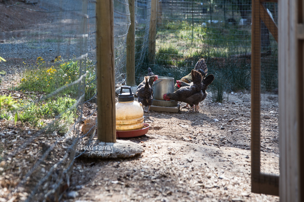 chickens eating food from feeder |  Placerville Children Documentary Photographs