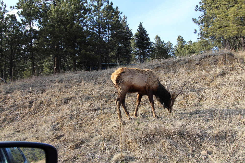 One of three Elk Bois