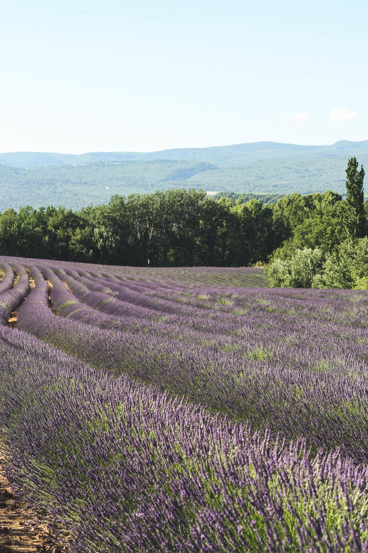 Een vakantie in de Provence is niet compleet zonder een foto van een lavendelveld, toch?