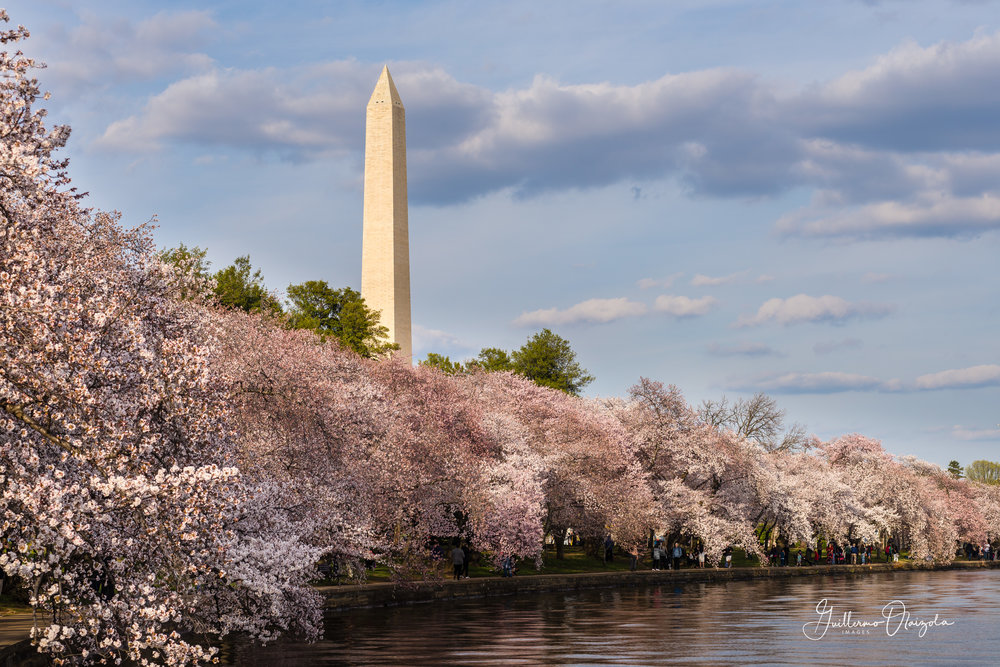 Washington Monument & Cherry Blossoms