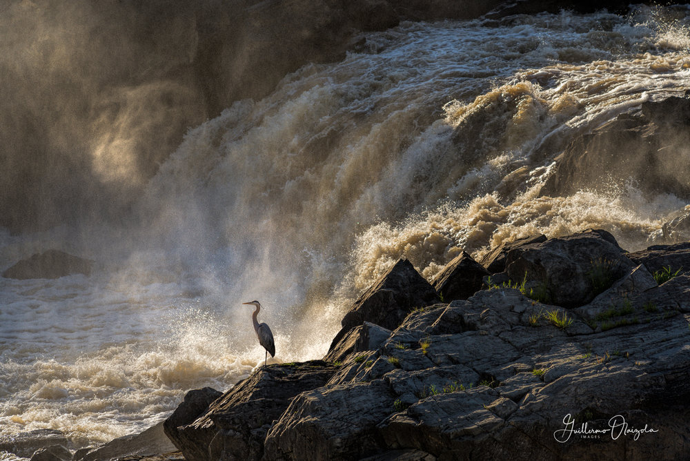 Great Blue Heron - Potomac Great Falls