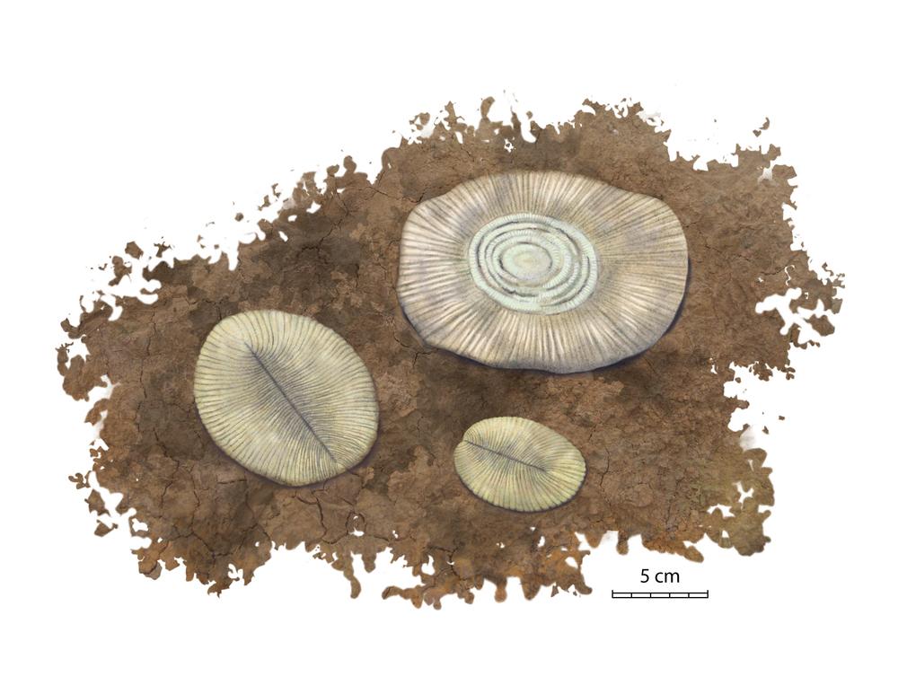 Cantner_EdiacaranFossils.jpg