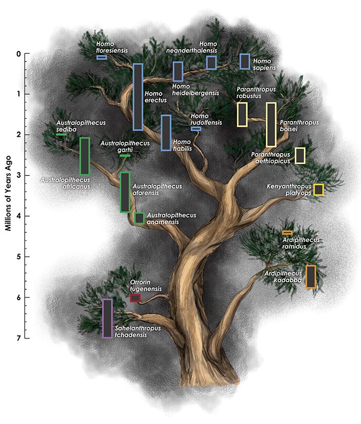 Hominin Tree