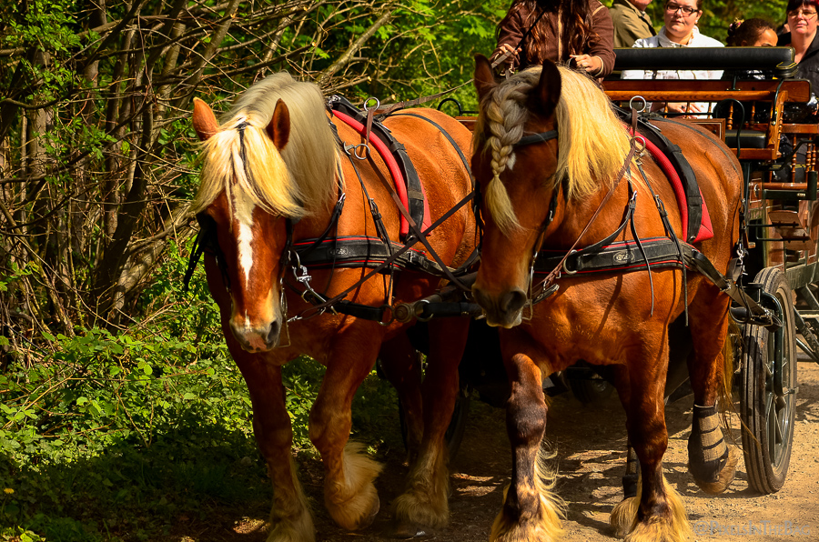Two muscular horses pull a carriage of people back to their cars.