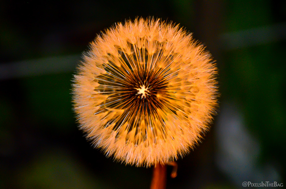 Dandelion in the evening light.