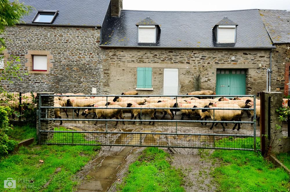 Mont Saint Michel  - Caravane et moutons-02.jpg