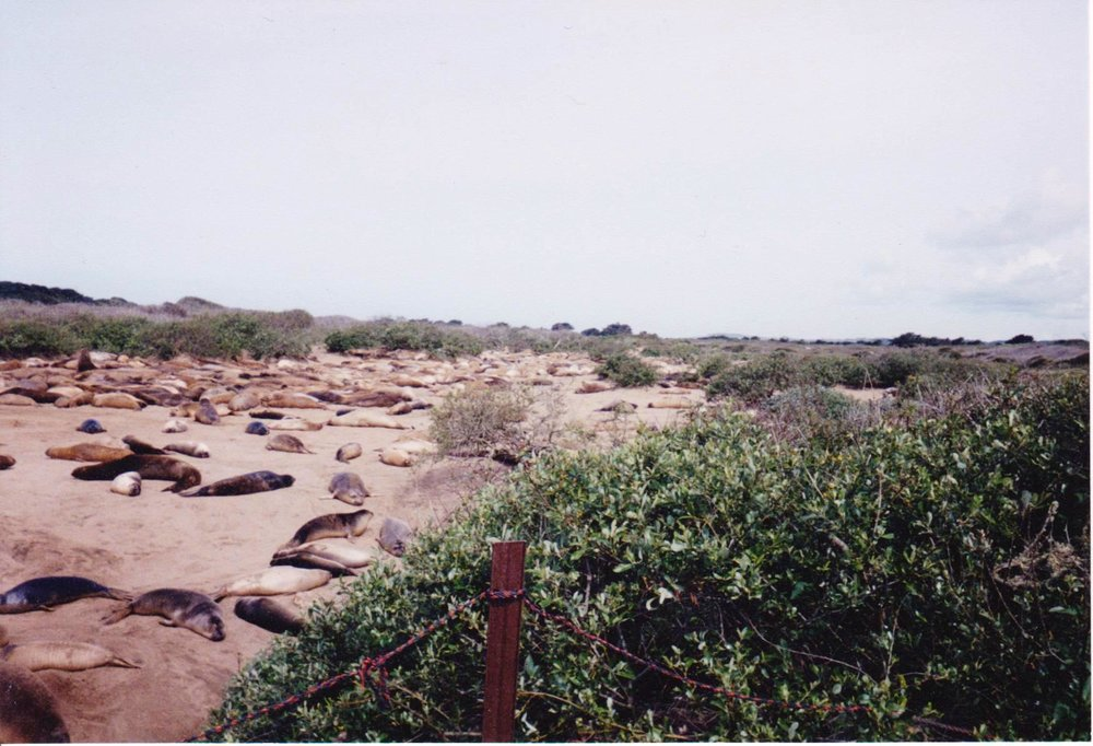 Bunch of sleeping seals on beach Road trip.jpg