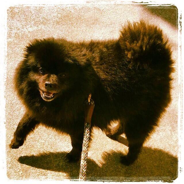 Get it fur fam ㋡ - — Toby the Pom