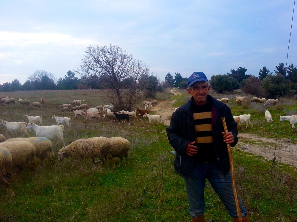 Modern Turkish shepherd with his sheep and goats in the Aegean region.
