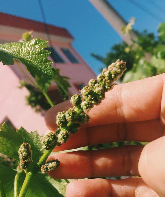 future grapes 🍇