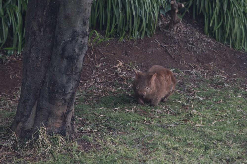 wombat NSW