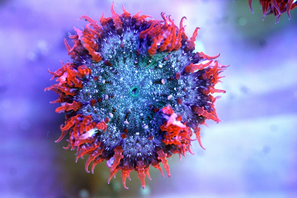 Red with Skittles Center Rock Flower Anemone $60-80