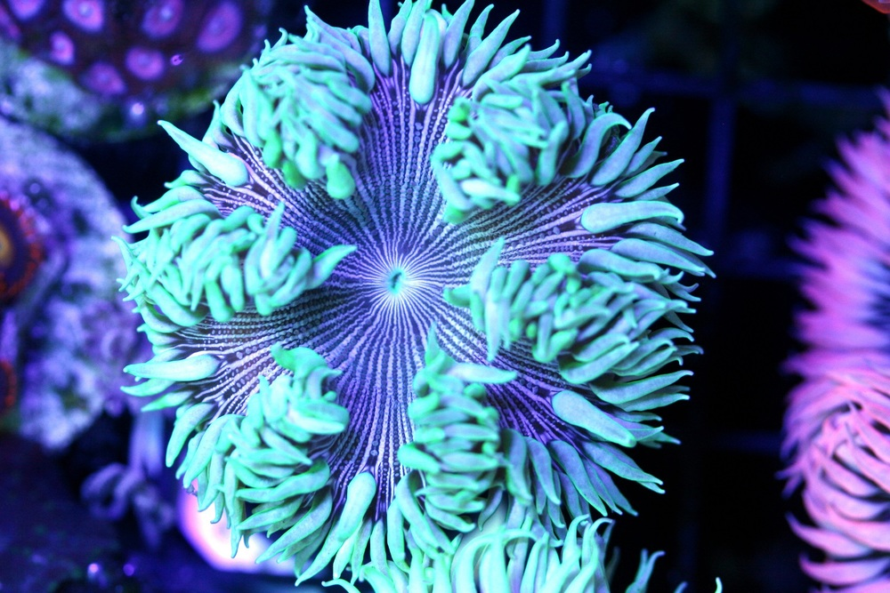 Iridescent Green Zebra Rock Flower Anemone $30-50