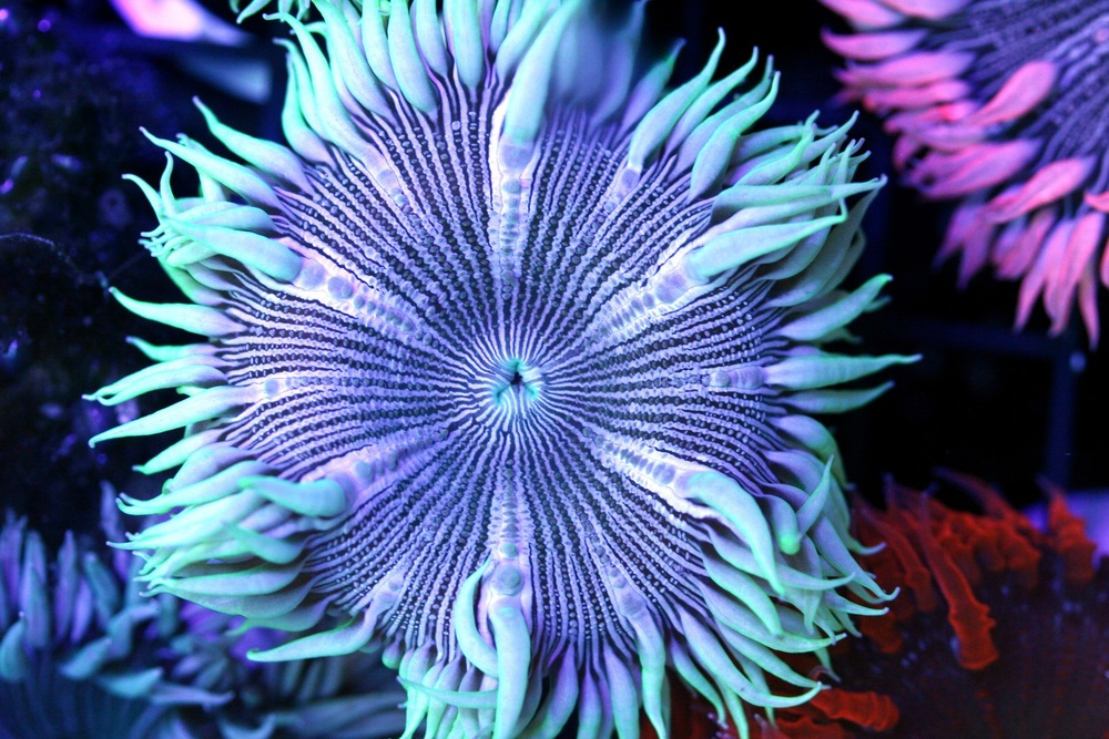 Striped Iridescent Green Zebra Rock Flower Anemone $30-50