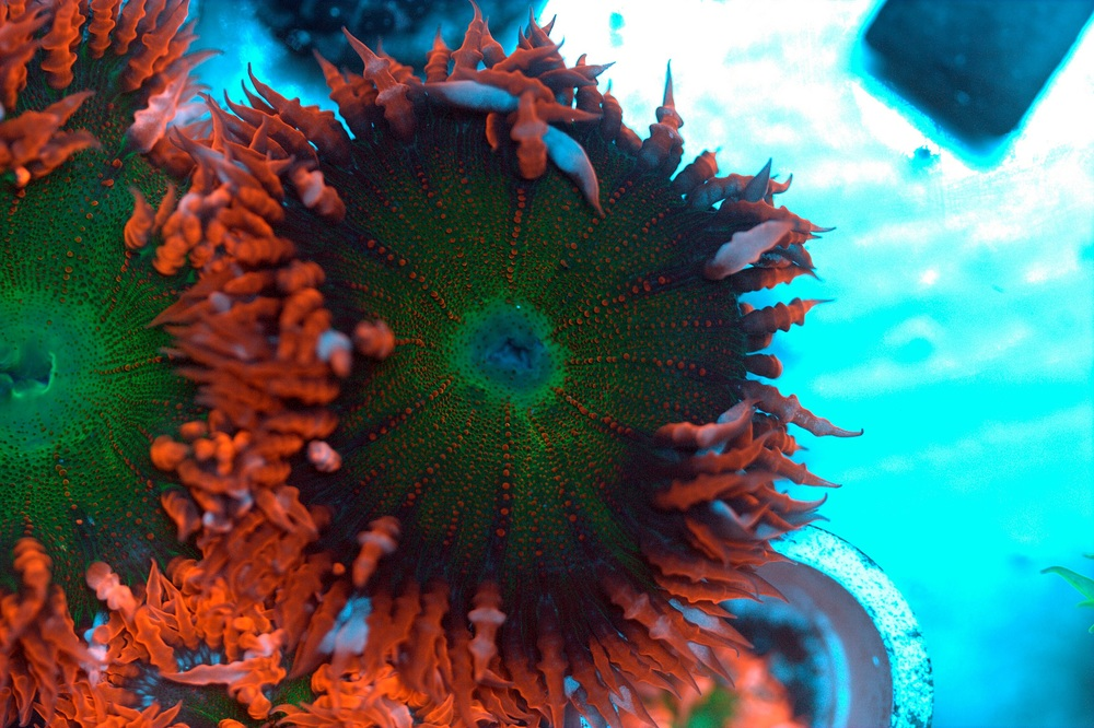 Neon Red with Green Center Rock Flower Anemone $40-60