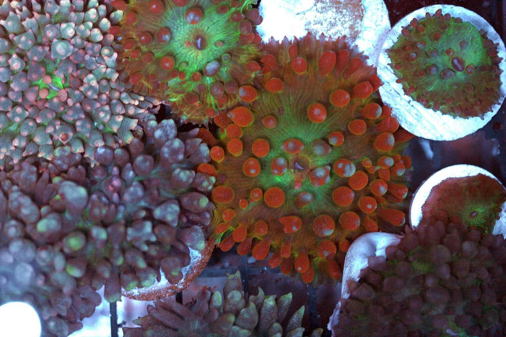 Orange Base Red Rainbow St Thomas Mushroom (aka Flaming Bounce Mushroom) $120/1""