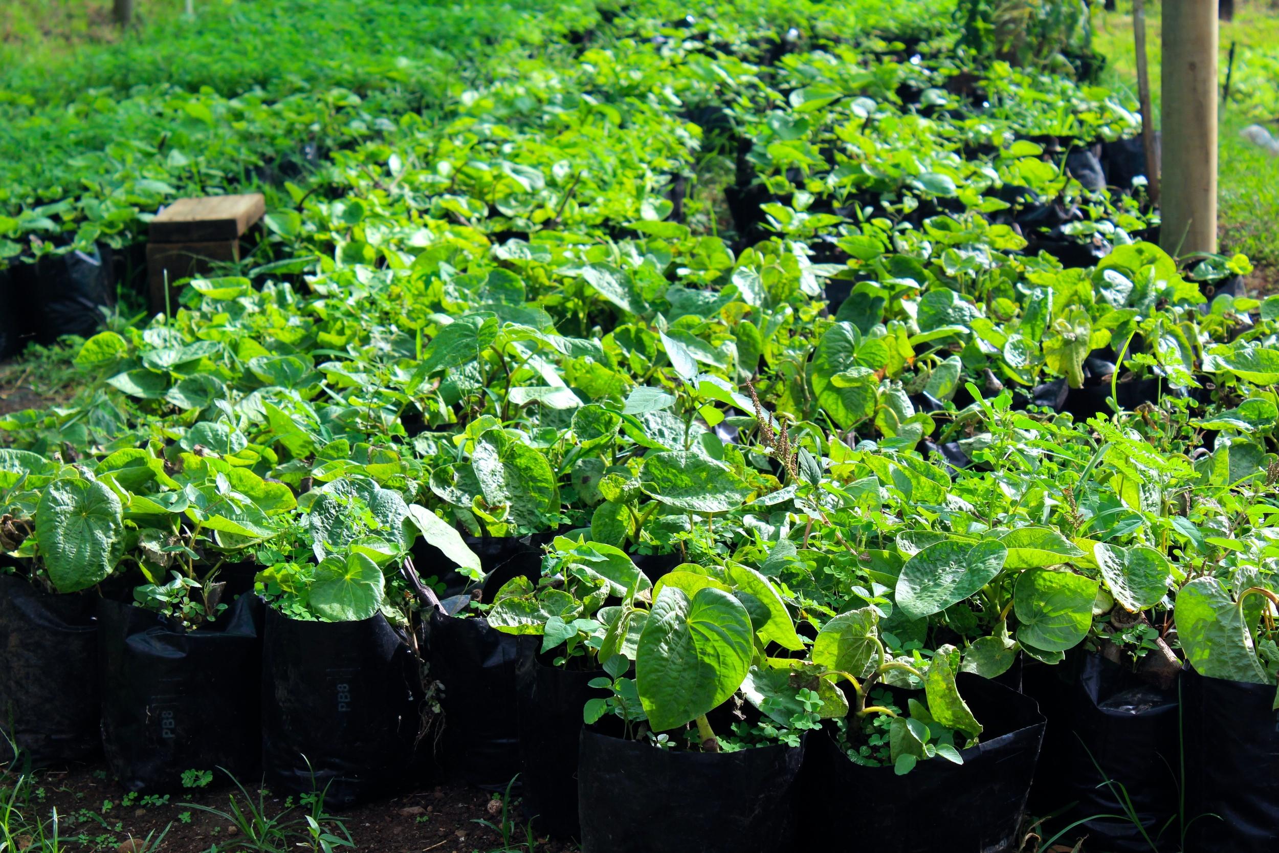 Young yaqona plants