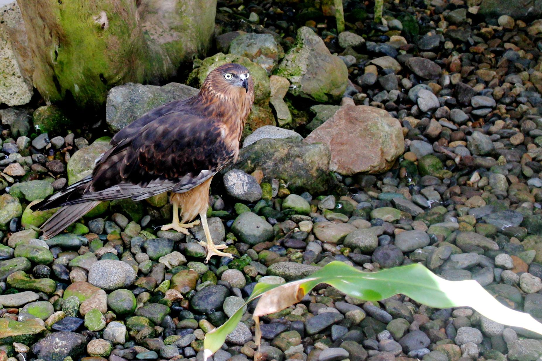 Fiji Hawk