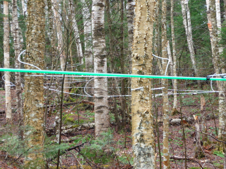 We use pipeline to collect the birch sap.