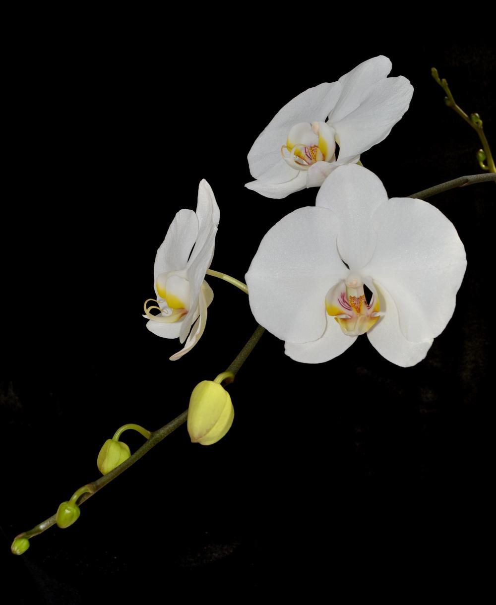 <i>Phalaenopsis</i> Cygnus