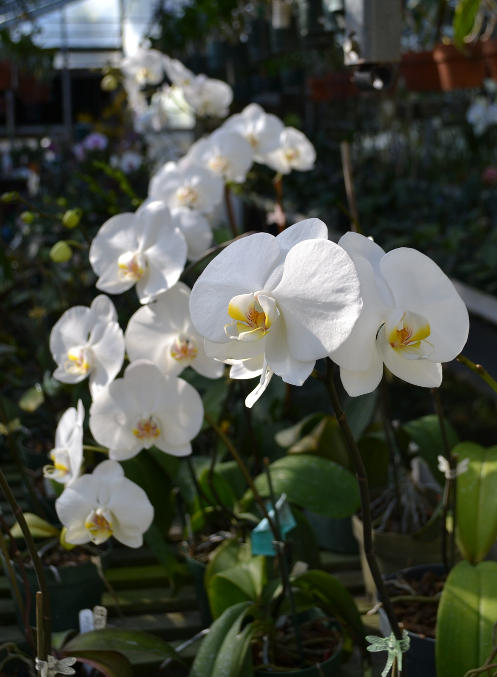 The white phals are coming 1-29-13.jpg