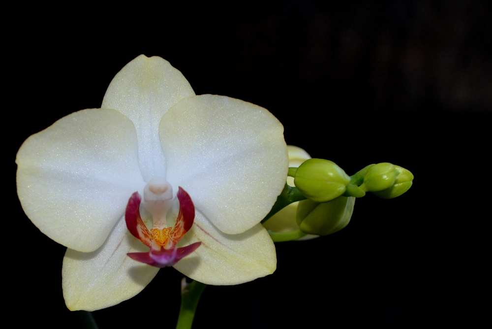 Phal NOID yellow blush.jpg