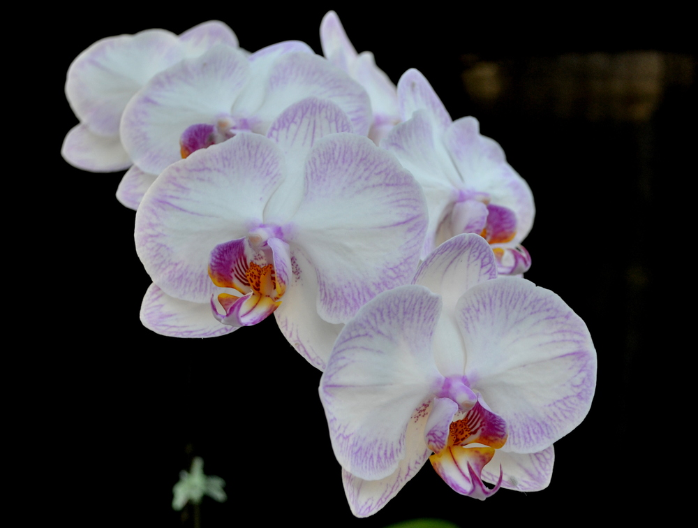 <i>Phalaenopsis</i> Newberry Parfait 'Picotee' AM/AOS.