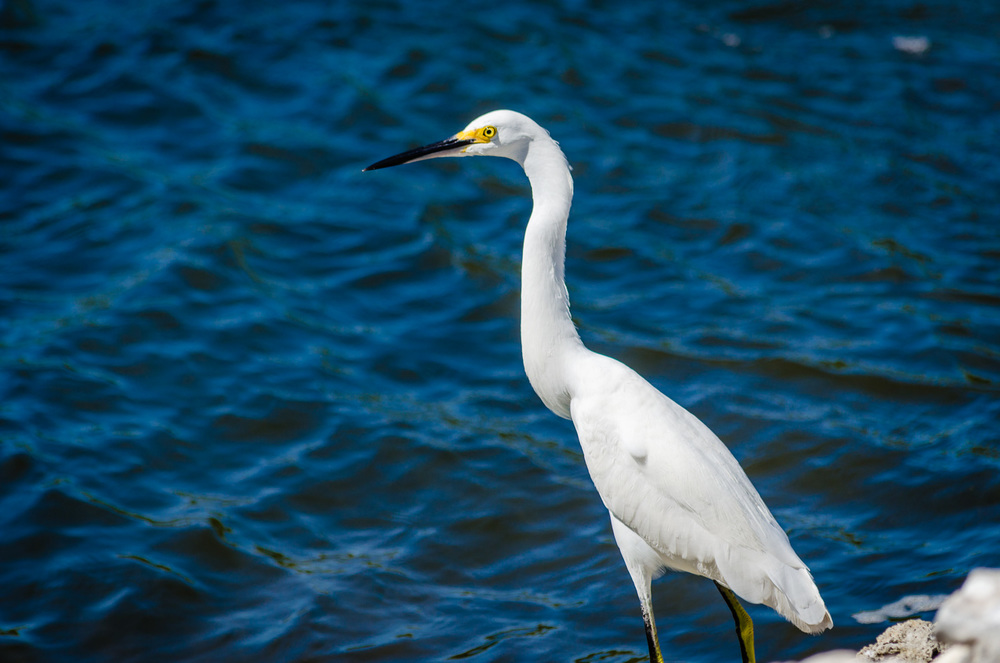 Egret near Tampa area