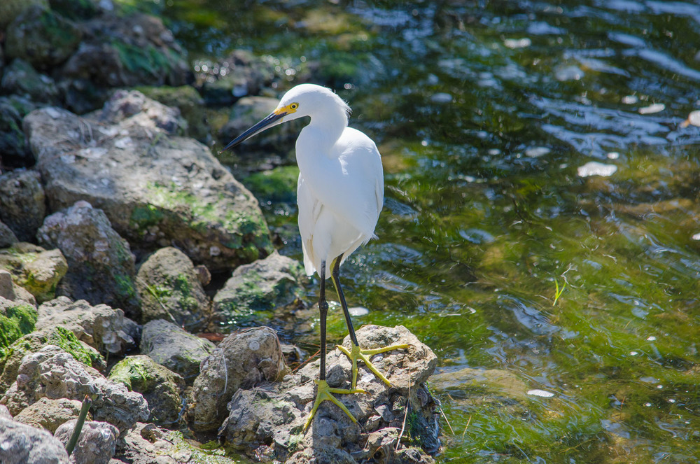 Egret with his bright yellow boots on at Sanibel Island