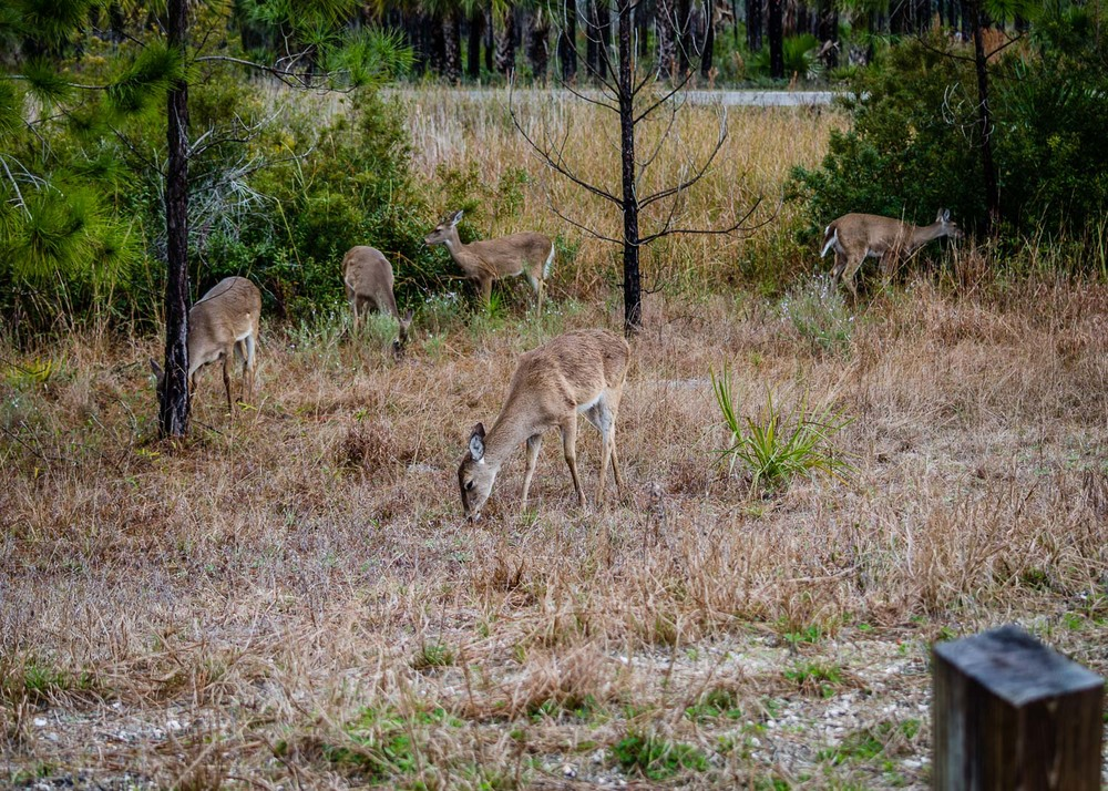 Deer in Gulf County Florida