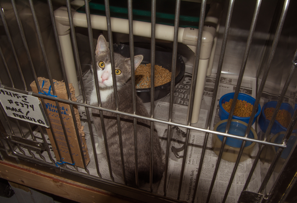 Young neutered male. Very sweet and dying to play. Little scared while in the cage.