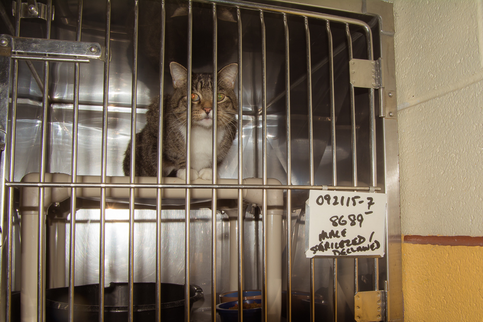 Declawed, neutered, just needs a home.  He is not used to being penned up.