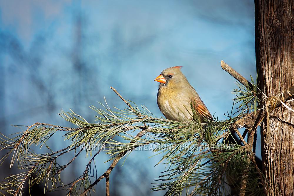 Female northern cardinal copy.jpg
