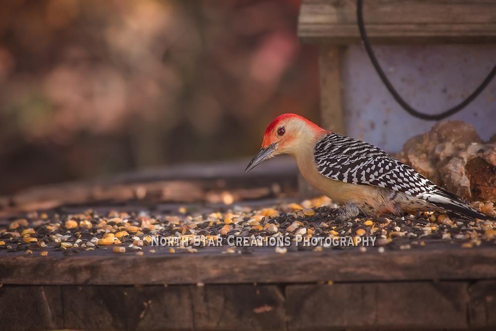 Red bellied woodpecker copy.jpg
